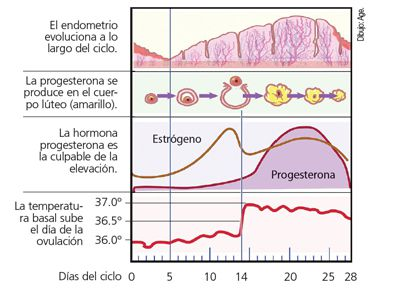 Cómo interpretar la temperatura basal