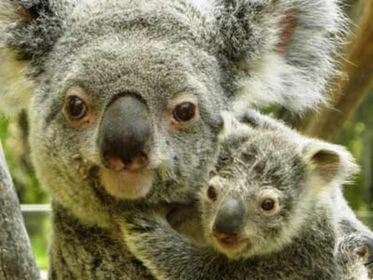 Conoce a EyePet, el primer koala nacido en España
