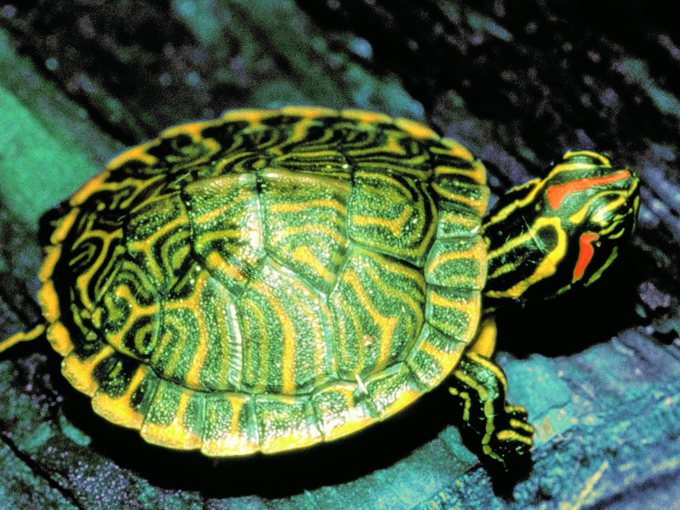 Lenta y bonita: la tortuga
